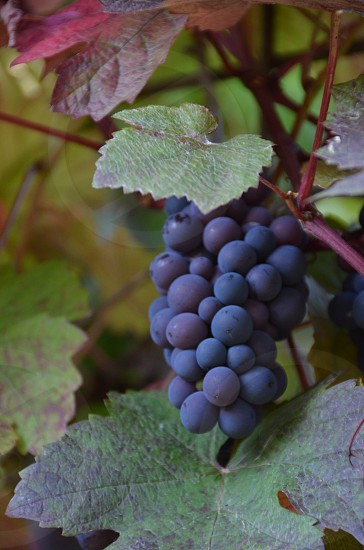 Grapes on the vines photo