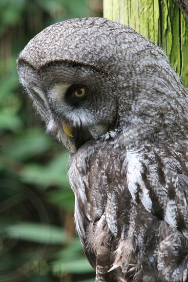 gray owl photo photo