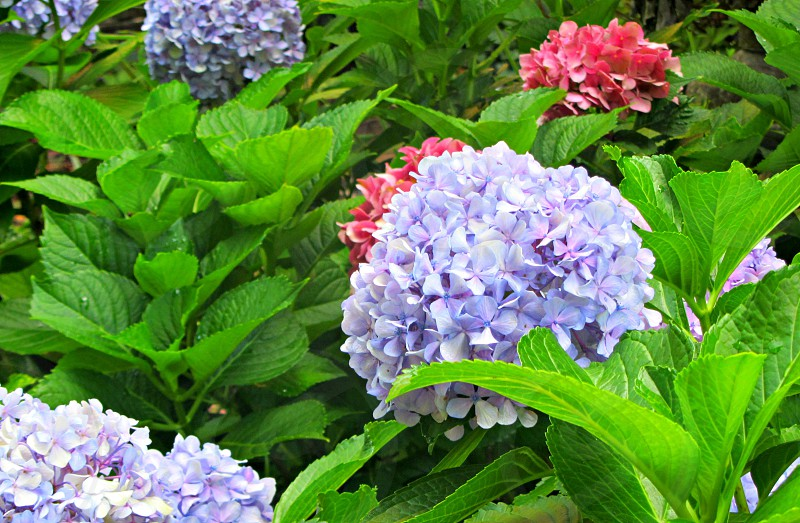 hydrangeas in bloom photo