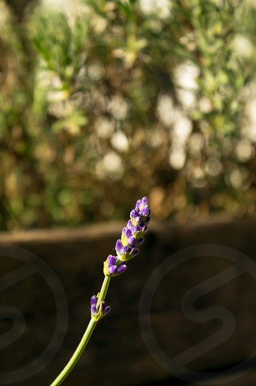 Lavender in our garden photo