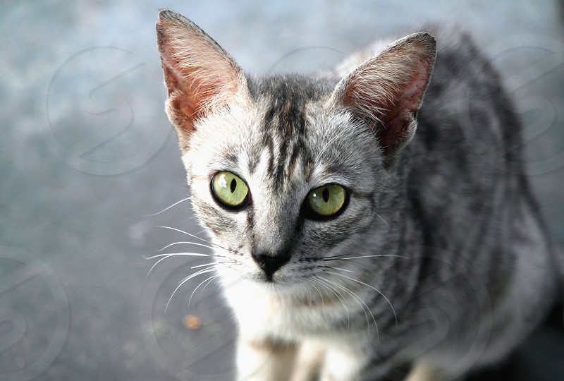 silver tabby cat photo