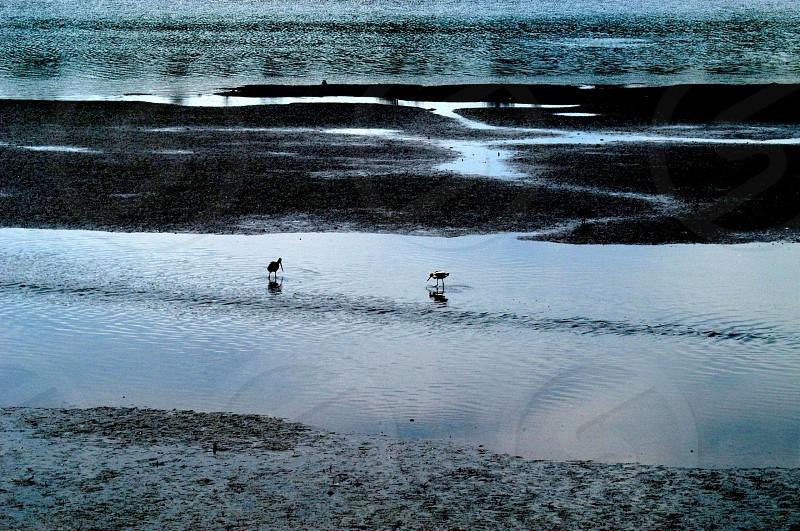 Birds Sandpipers photo