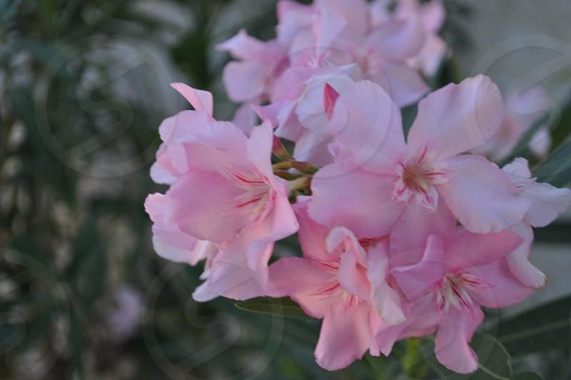 Pink oleander flower photo