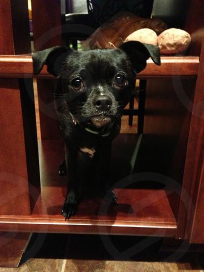 Dog on a shelf photo