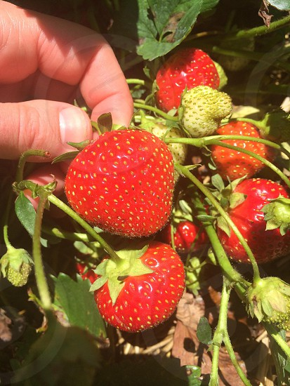 Strawberry pickin' photo