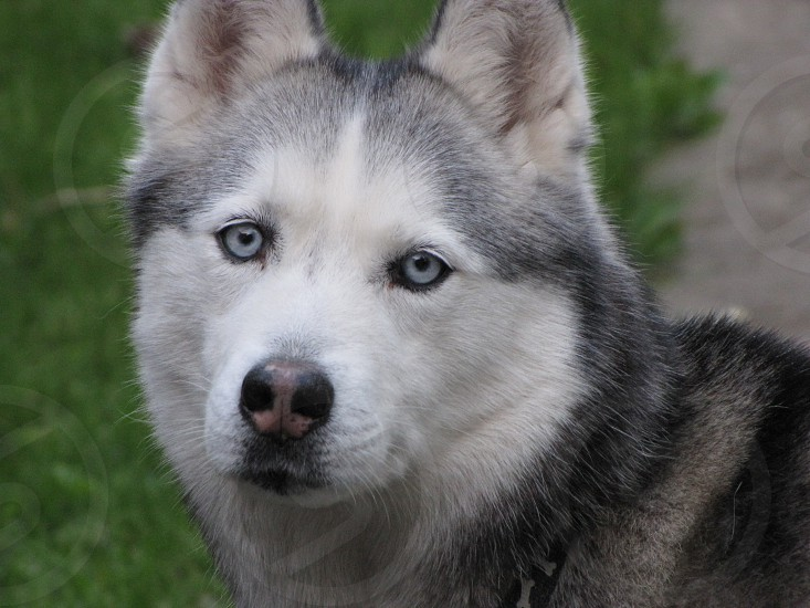 Dog husky pet blue eyes siberian husky animal  photo