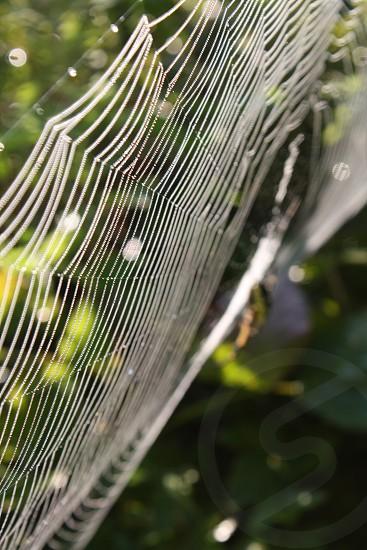 argiope aurantia photo