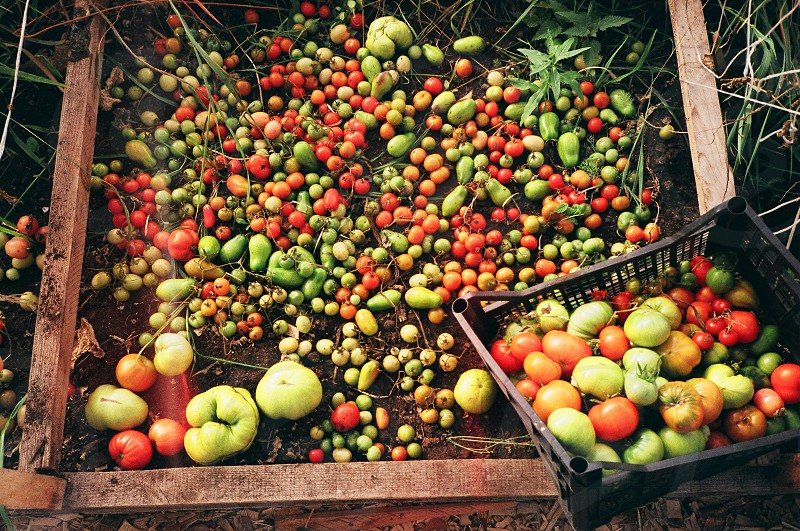 Film shot of tomatoes during harvest time at private organic farm in Siberia. photo