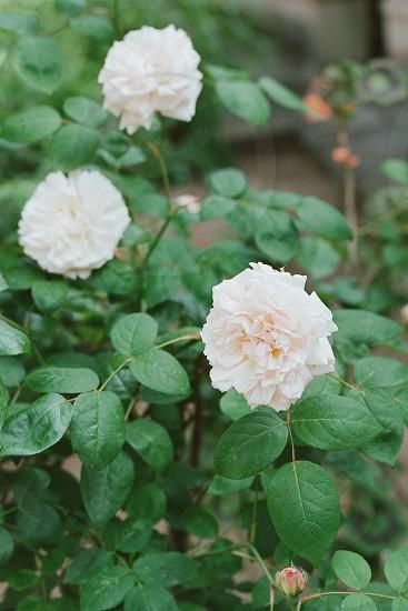 roses garden floral photo