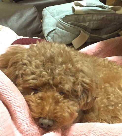almost sleep dog.  photo