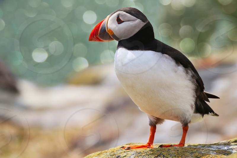Atlantic Puffins of the Farne Islands photo