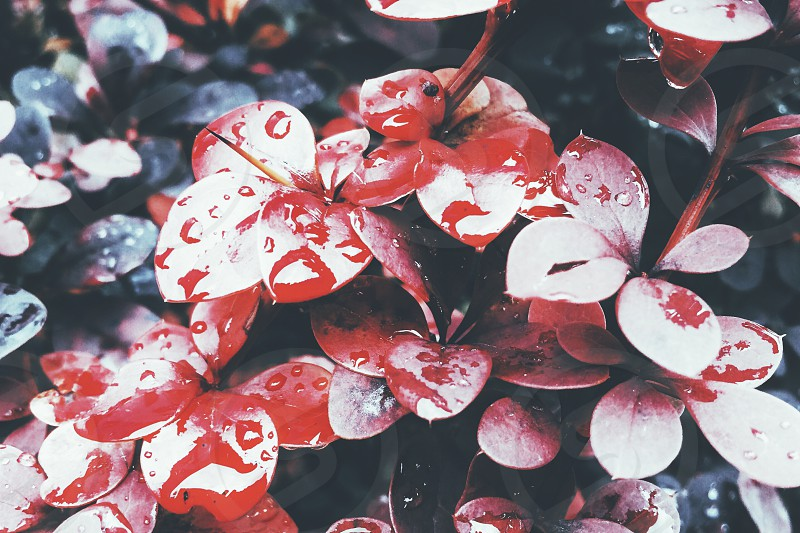 colorful red and blue leaves with raindrops photo