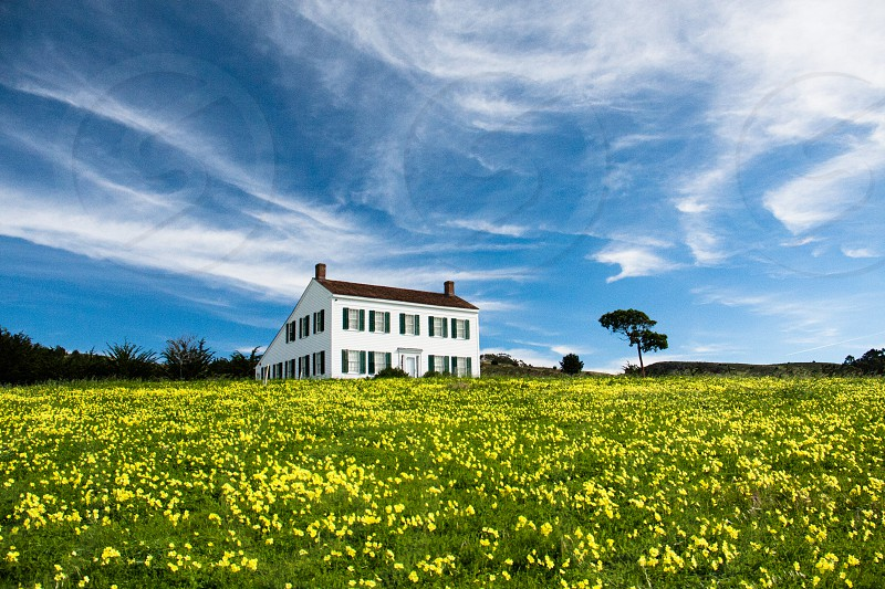 old farmhouse in spring field of mustard photo