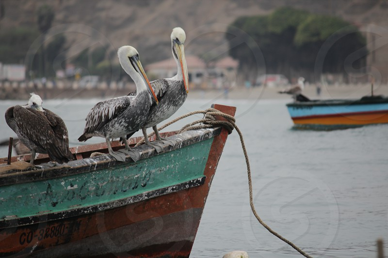 Pelicans on a very used fishing boat over peruvian sea. photo