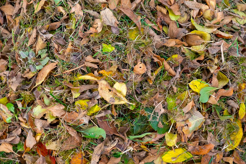 a heap of leaves swept together with a rake on a meadow in the garden. the leaves go into a bucket. photo