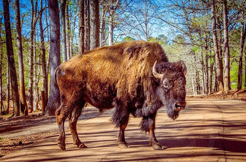 Wild road buffalo stop photo