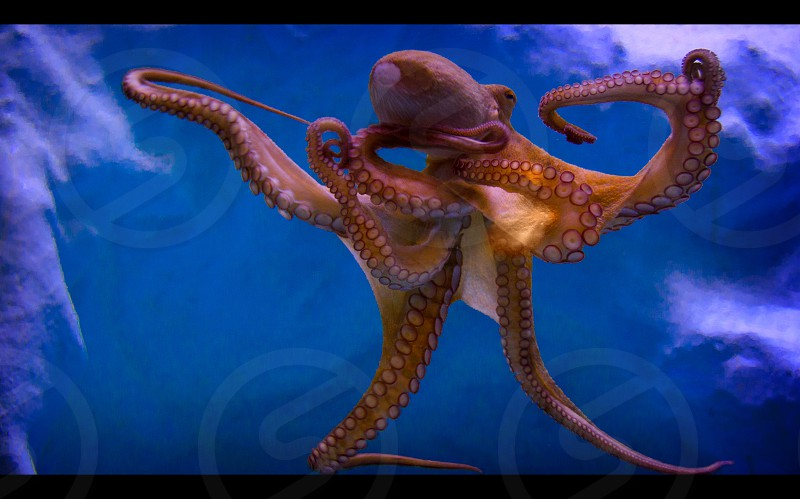 An octopus in the water an an aquarium. photo