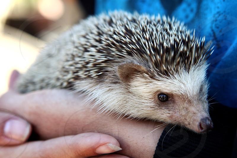 Pet hedgehog being held. photo