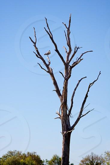 Grey Heron (Ardea cinerea) Perched on a Dead Tree photo