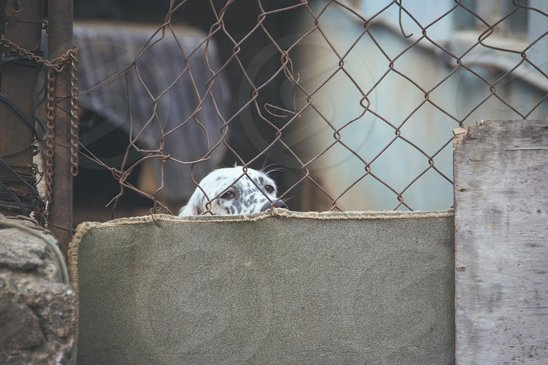 Dog peeking from behind fence photo