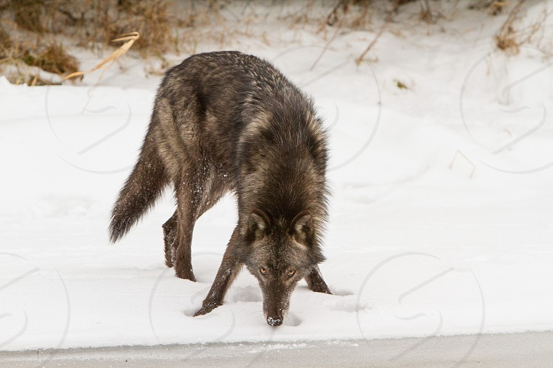 Wolf eating snow but watching carefully photo