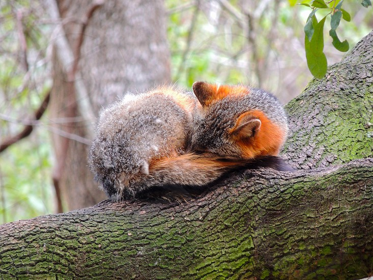 Red Fox napping in a tree. photo