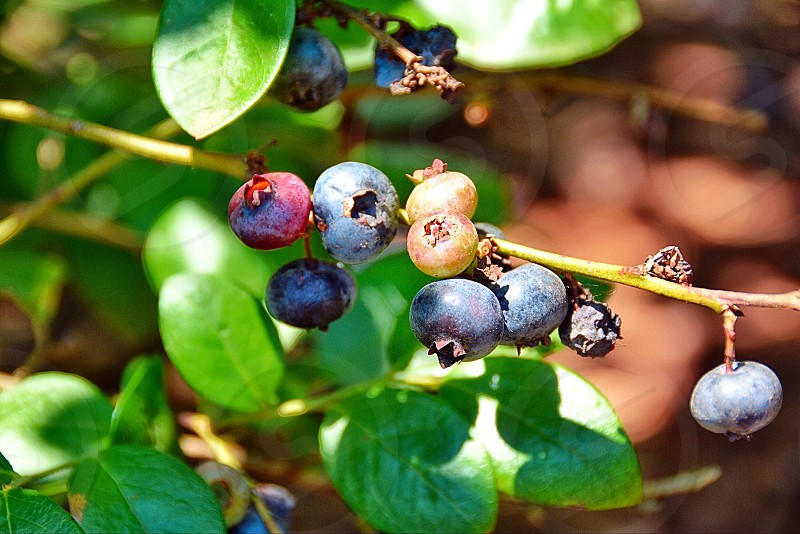 Blueberry farm photo