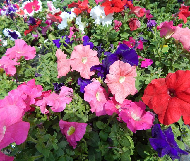 many multicoloured petunias red pink white purple green leaves pretty cheerful photo