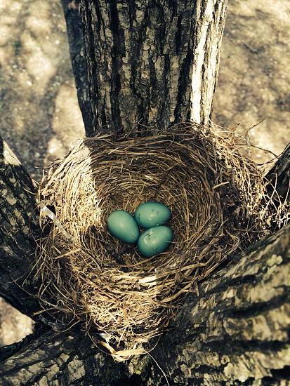blue robin eggs photo