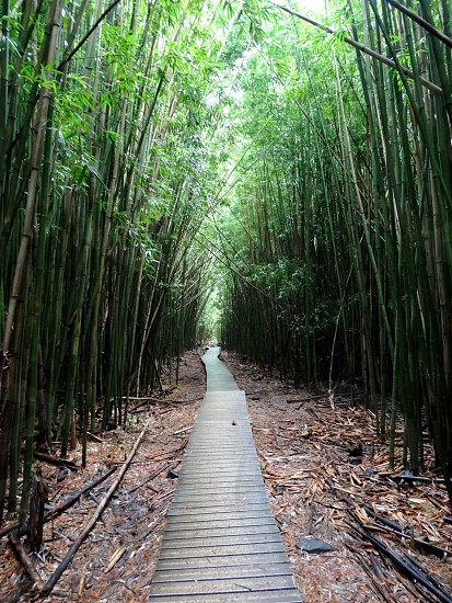 Bamboo forest in Maui photo