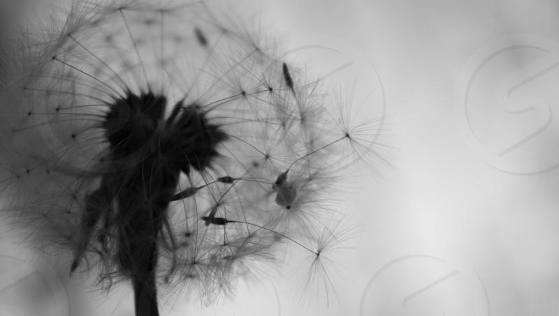 Dandelion in black and white photo