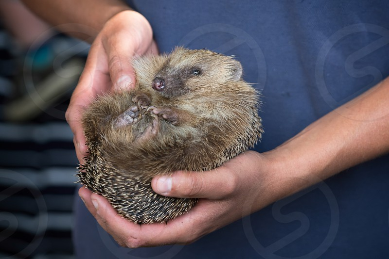 Person Holding a Young European Hedgehog (Erinaceus europaeus) photo