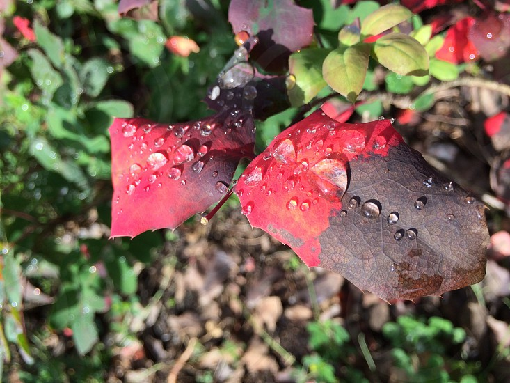 Oregon Grape in Fall photo