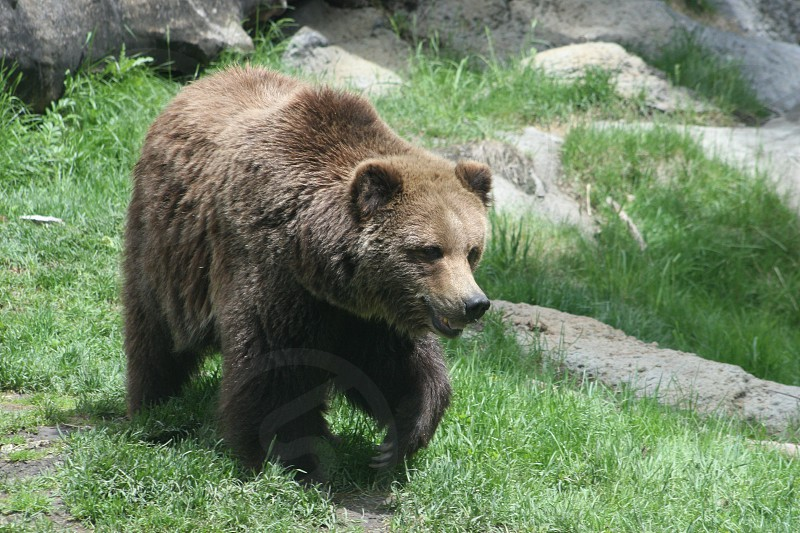 Brown Bear in the Canadian Rockies photo