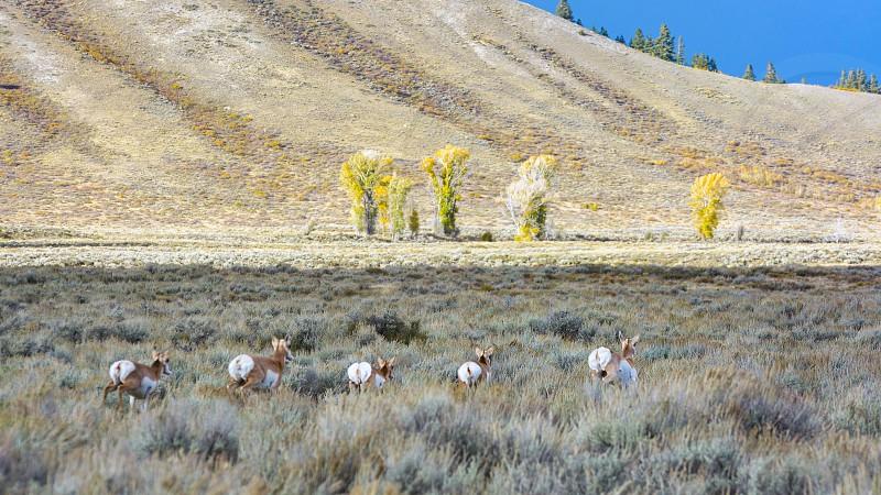 Pronghorn (Antilocapra americana) on the Run photo