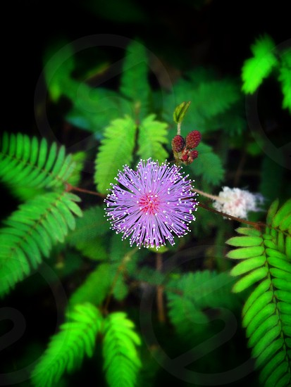 closeup photo of mimosa pudica plant photo