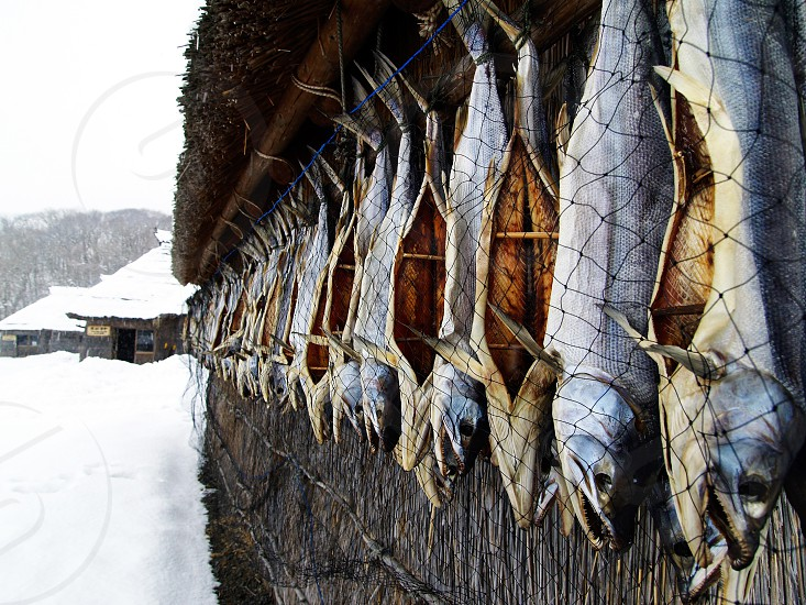 fish dried salted preserved food Ainu village ethnic Hokkaido Japan fishing snow cold winter seafood Asia keep culture lifestyle wisdom local remote photo