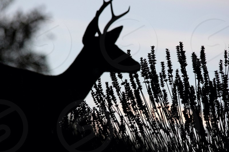 antlered deer by tall grass in black and white photo