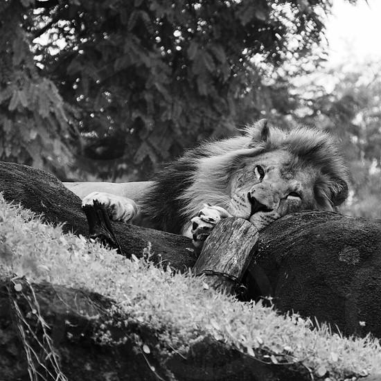 Don't wake the sleeping lion! photo