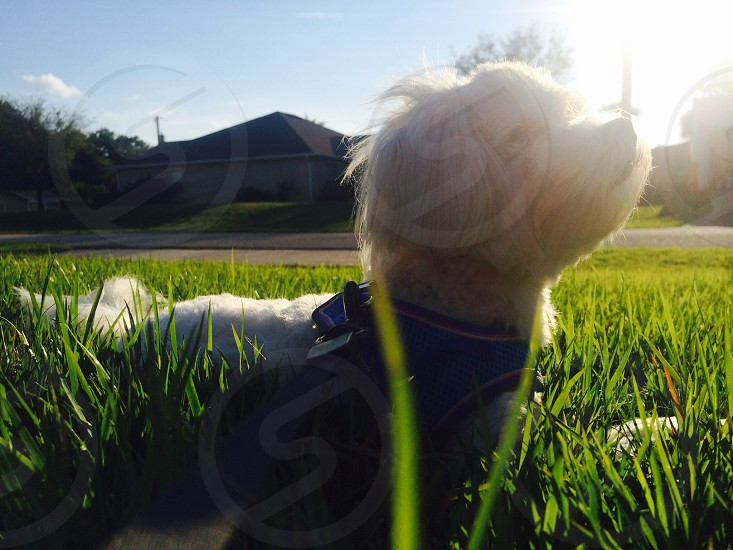 west highland white terrier on green grass field photo