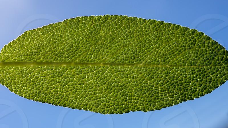 leaf sage close-up photo