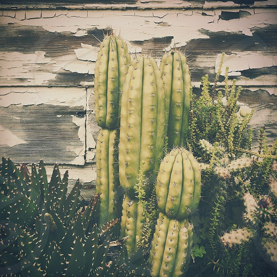 green cactus plant photo