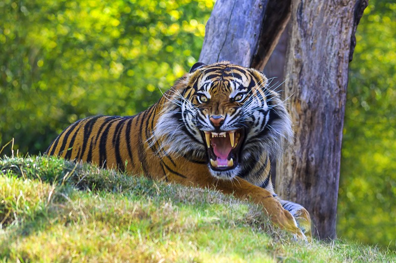 brown bengal tiger photo