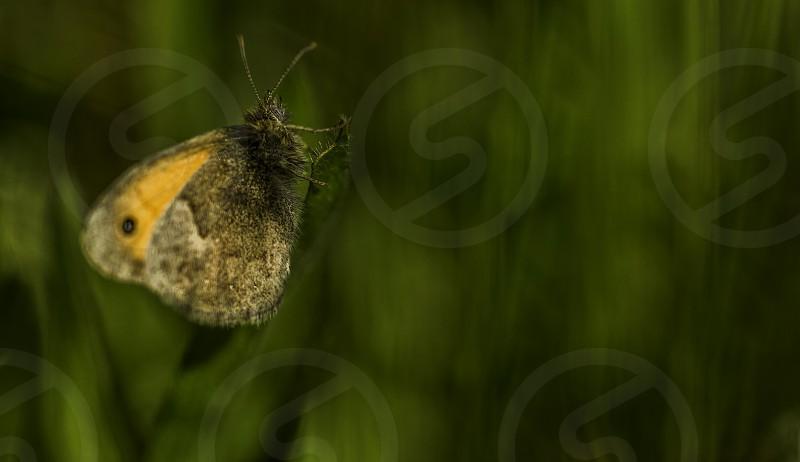 Beautiful Maniola jurtina butterfly on green leaf green background in herb garden photo