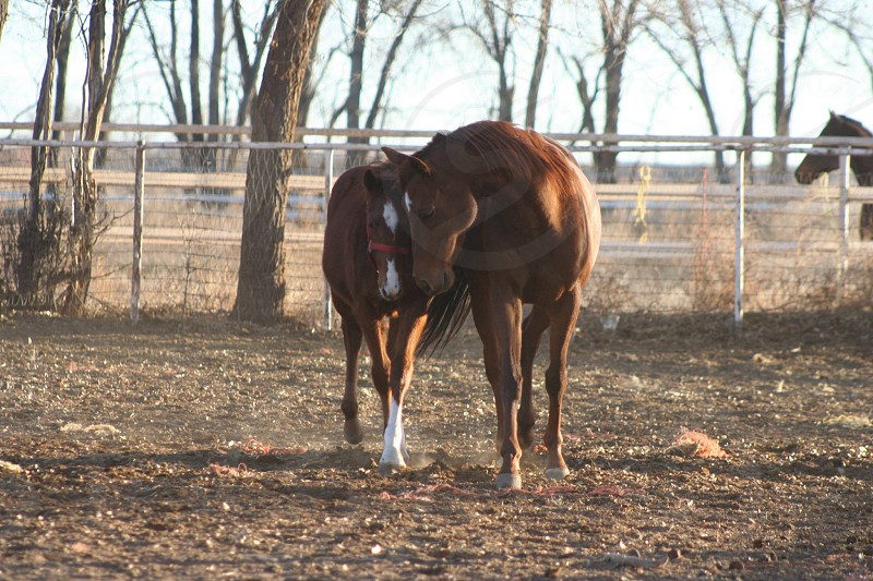 Mom daughter mare filly thoroughbred chestnut ranch farm horse racehorse trees paddock pasture love  photo