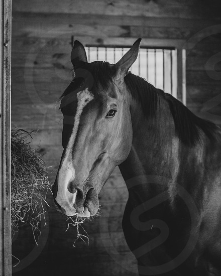 A horse feeding in its stall photo