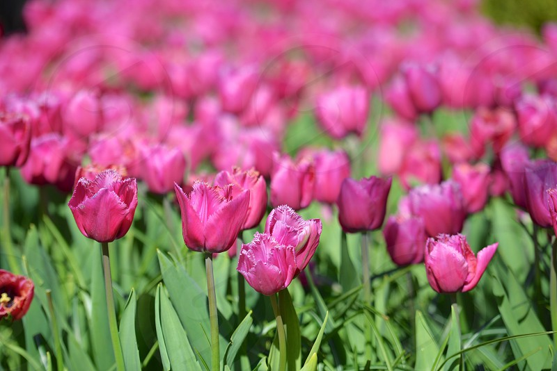 Pink tulips in the springtime photo