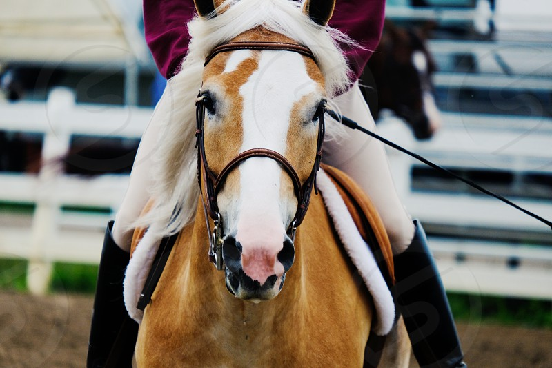 Person riding Haflinger horse in arena. photo