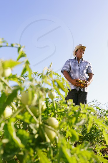 farm farmer man holding tomato vegetable farming pesticide plant field harvest harvesting work worker agriculture 50-55-years adult agricultural agriculturist bio country cultivate cultivating dedication determination elder farmland fertile growing growth happy hat hispanic horticulture job latin america meadow middle aged nature occupation one person people profession senior smile south america tired working  photo