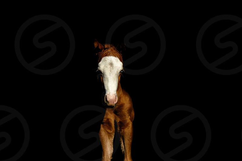 Foal horse with simple black background. photo